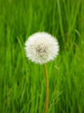 Dandelion, Single Flower, green background, spring Royalty Free Stock Images