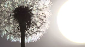 Dandelion Size of the Sun. Flying dandelion seeds against the bright sun. Slow Motion at a rate of 240 fps stock video footage