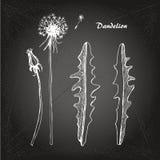 Dandelion sketch 1 Stock Images