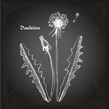 Dandelion sketch 2 Stock Photo
