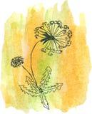 Dandelion sketch on watercolor spot Stock Photo
