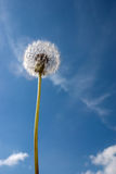 Dandelion and sky Stock Image