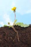 Dandelion sky Stock Image