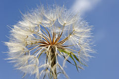 Dandelion in the sky Stock Photography