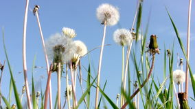 Dandelion and the sky. Dandelion field tremble in the wind against the backdrop of clean solar sky stock video