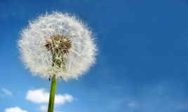 Dandelion on sky stock images