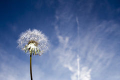 Dandelion  and sky Royalty Free Stock Photo