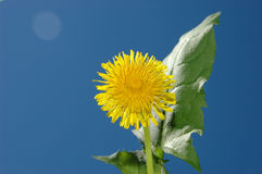 Dandelion on sky Stock Photography