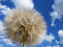 Dandelion and sky with clouds Royalty Free Stock Images