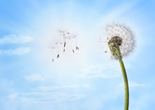 Dandelion Sky Clouds Background royalty free stock image
