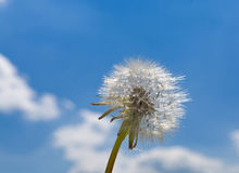 Dandelion with sky Stock Images