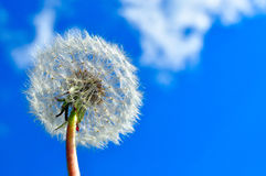 Dandelion and sky Stock Photos
