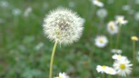 Dandelion, slow motion close-up. Dandelion, slow motion close up stock video footage