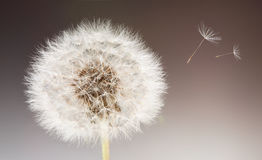 Dandelion. With small floating seeds Royalty Free Stock Images