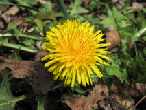 Dandelion. Small dandelion between grass and leafs Stock Image
