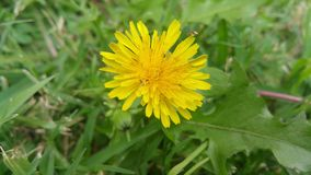 Dandelion with small insects Stock Image