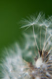 A dandelion Royalty Free Stock Image