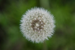 A dandelion Stock Photos