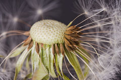 Dandelion Snow Royalty Free Stock Photo