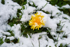 Dandelion snow. Single dandelion in May of snow, snow snow Royalty Free Stock Photos