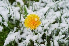 Dandelion snow. Single dandelion in May of snow, snow snow Stock Photo