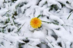Dandelion snow. Single dandelion in May of snow, snow snow Royalty Free Stock Photo
