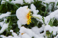 Dandelion snow. Single dandelion in May of snow, snow snow Royalty Free Stock Images