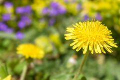 Dandelion with soft bokeh in a colorful flower meadow stock image