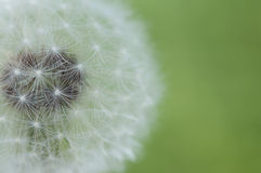 Dandelion softness Royalty Free Stock Image