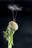 Dandelion with some feather. On a black background Royalty Free Stock Photos