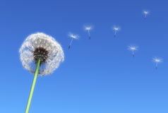 Dandelion. And some flying seeds carried by the wind on a blue sky as background Royalty Free Stock Images