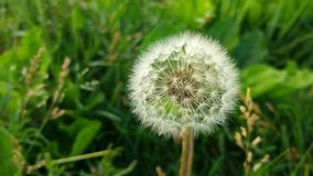 Dandelion. Some see a weed ; Some see a wish ...Make a wish and throw your cares to the wind stock images
