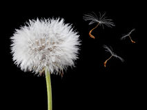 Dandelion with some seeds flying. Isolated on black Royalty Free Stock Image