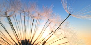 Dandelion with some seeds flying in the evening sun royalty free stock photography