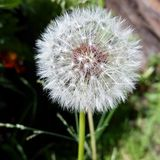 Dandelion. Some weeds look beautiful like this dandelion Stock Images