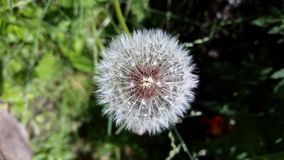 Dandelion. Some weeds look beautiful like this dandelion Stock Photography