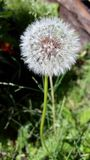 Dandelion. Some weeds look beautiful like this dandelion royalty free stock images