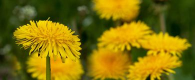 Dandelion Sonchus L. Yellow, fresh flowers of Dandelion Sonchus L. smother floating their flowers towards the sun Stock Images