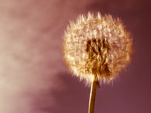 Dandelion sphere Stock Images
