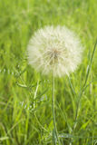 The dandelion spherical white seeds Royalty Free Stock Image