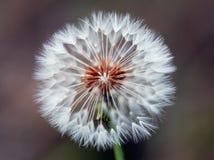 Dandelion Spores Stock Image