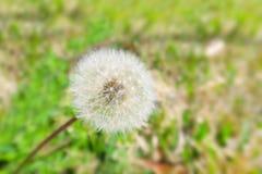 Dandelion. Spores blowing in field Stock Photo
