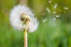 Dandelion spores. Close up of dandelion spores blowing away Stock Photo