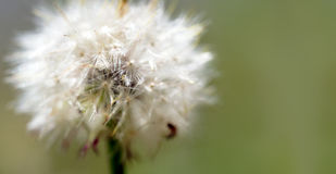 Dandelion. Spot focused Dandelion with a soft boarder Royalty Free Stock Photos