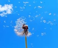 Dandelion spreading its seed Royalty Free Stock Photo