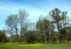 Dandelion Spring. Bright yellow dandelions in the spring, Tudhope Park, Orillia, Ontario, Canada royalty free stock photography