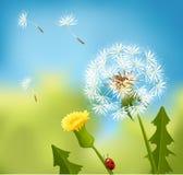 Dandelion spring. Dandelion flowers at summer time Royalty Free Stock Photos