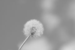 Dandelion in the spring. Against the black-and-white background sky Stock Photography