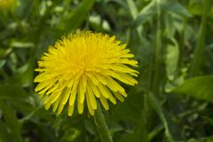 Dandelion on a background of plants royalty free stock photography