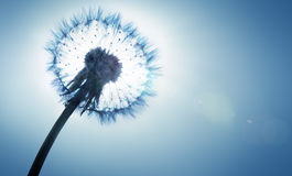 Dandelion- spring and allergy Stock Photos